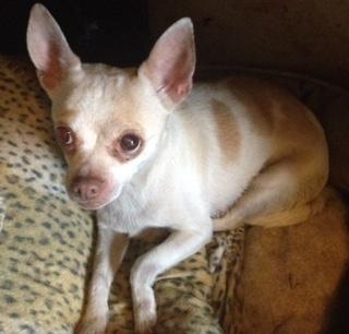 Adopt Tamale on Chihuahua mix, Chihuahua, Chihuahua dogs