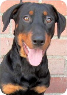 Dachshund Rottweiler Mix Dog For Adption In Los Angeles