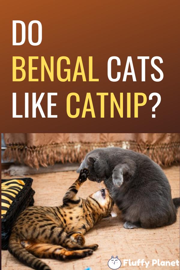 Do Bengal Cats Like Catnip? [ 2020 ] Bengal cat, Bengal