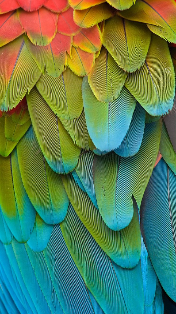 Colorful Parrot Feathers Wallpaper For Iphone 6 From Everpix