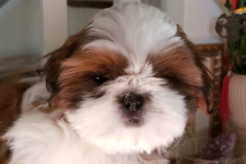 Jill Ryan Miralan Shih Tzu Has Shih Tzu Puppies For Sale In Bristol Il On Akc Puppyfinder Akc Shih Tzu Puppy Shih Tzu