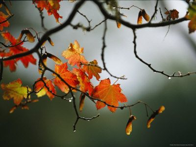 Vine Maple Leaves To Displaying Bright Autumn Colors Photographic Print