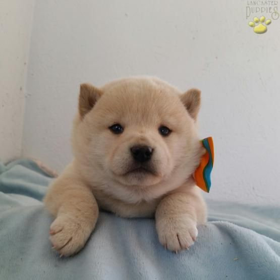 Farrah - Shiba Inu Puppy for Sale in lancaster, PA | Lancaster