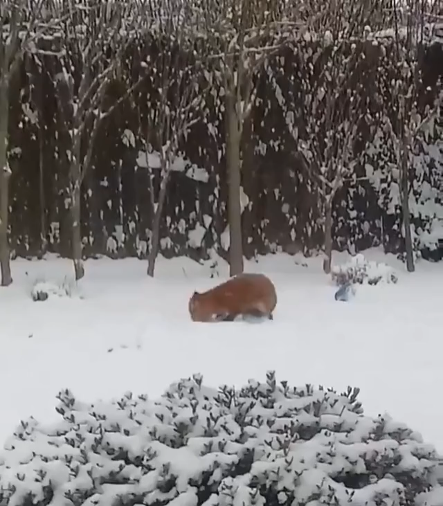 A wild fox playing around with a dog toy it found in someone's backyard �