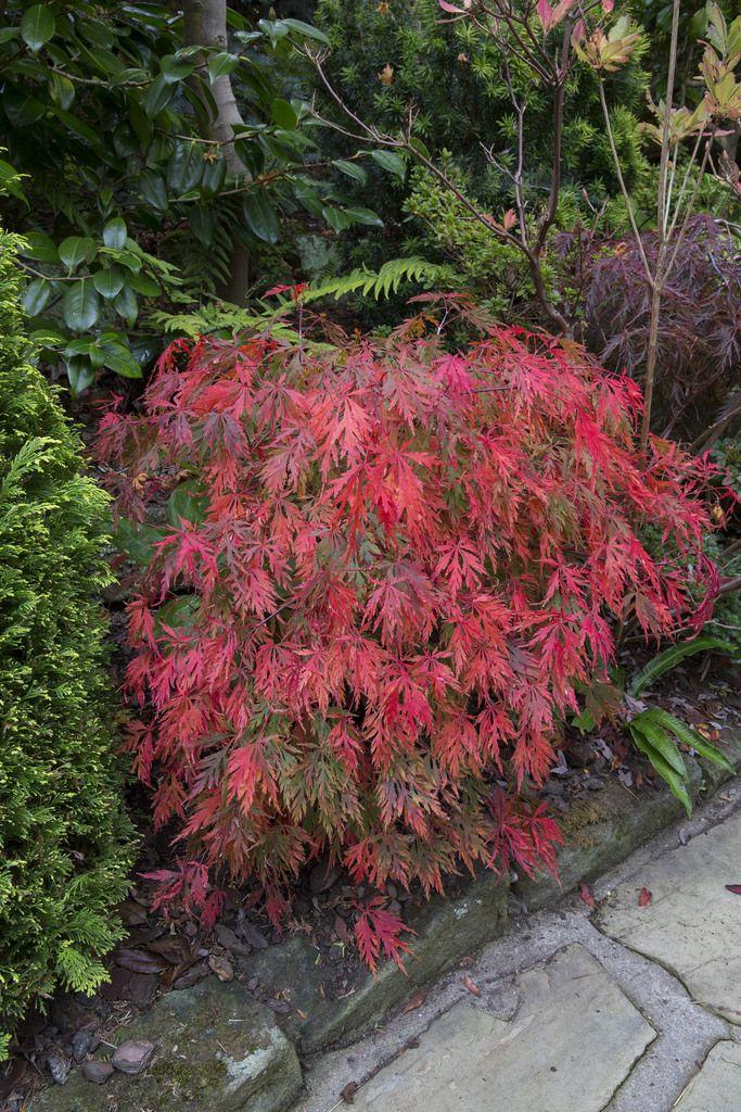 Acer Palmatum Vardissectum Tamukeyama Garden Landscape Acer