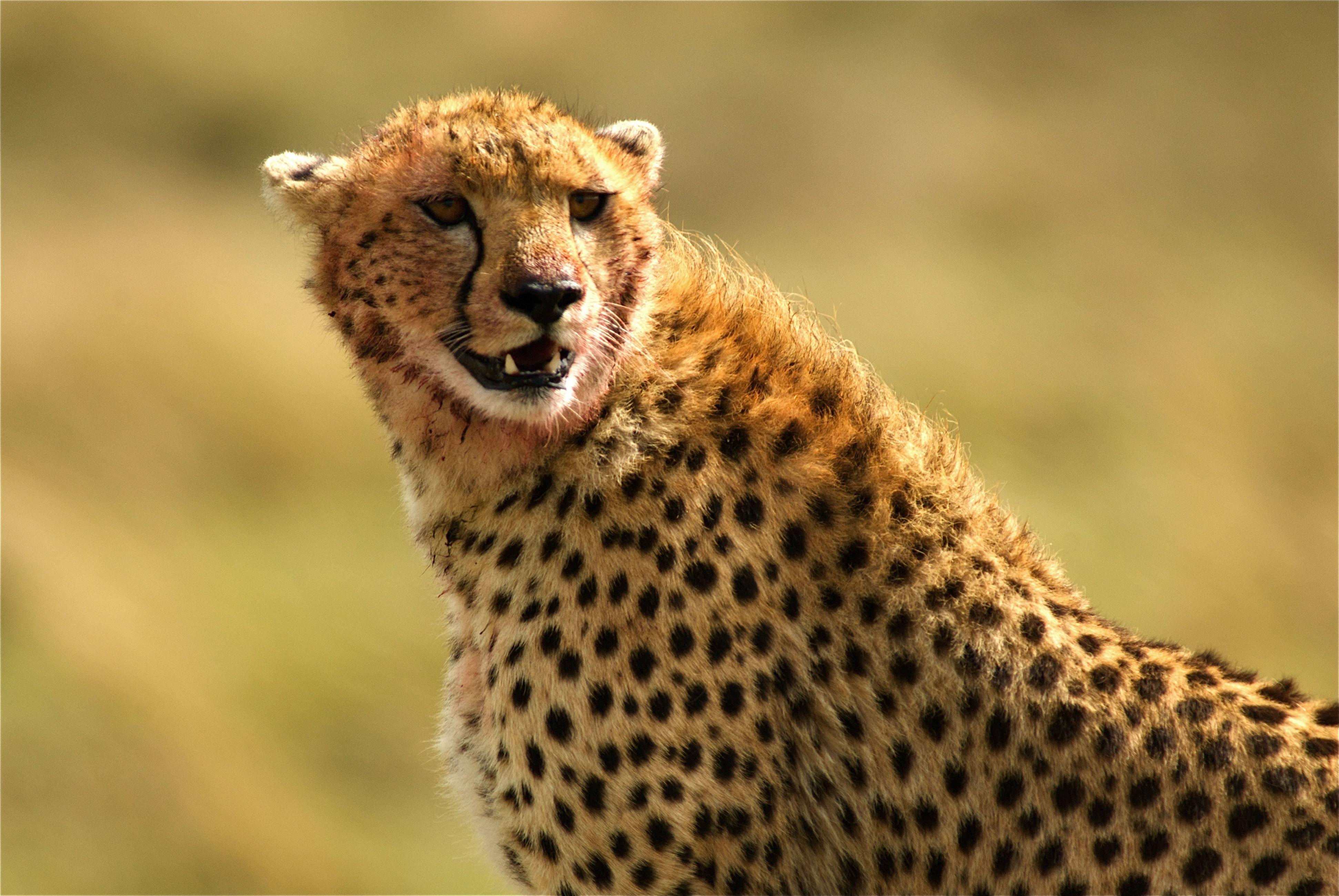 Cheetah Running Sand In High Resolution Hd Desktop Wallpaper