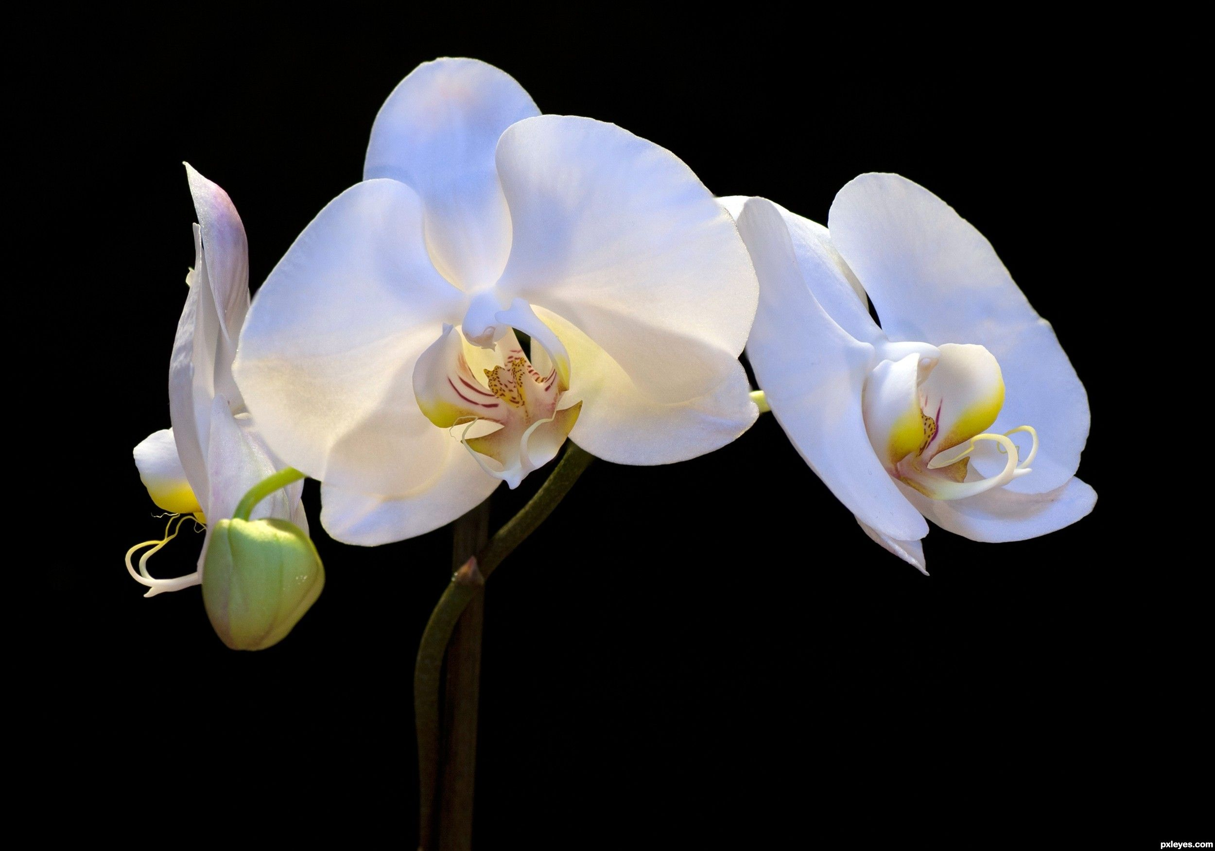 White Orchid Picture By Friiskiwi For Orchids Photography Contest Orchid Photography White Orchids Orchid Wallpaper