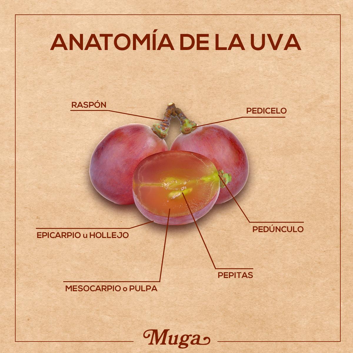 El fruto de la vid se denomina uva. ¿Conoces de qué partes ...