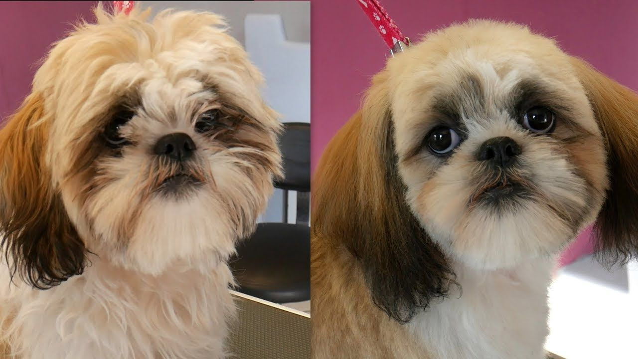 how to groom a shih tzu face