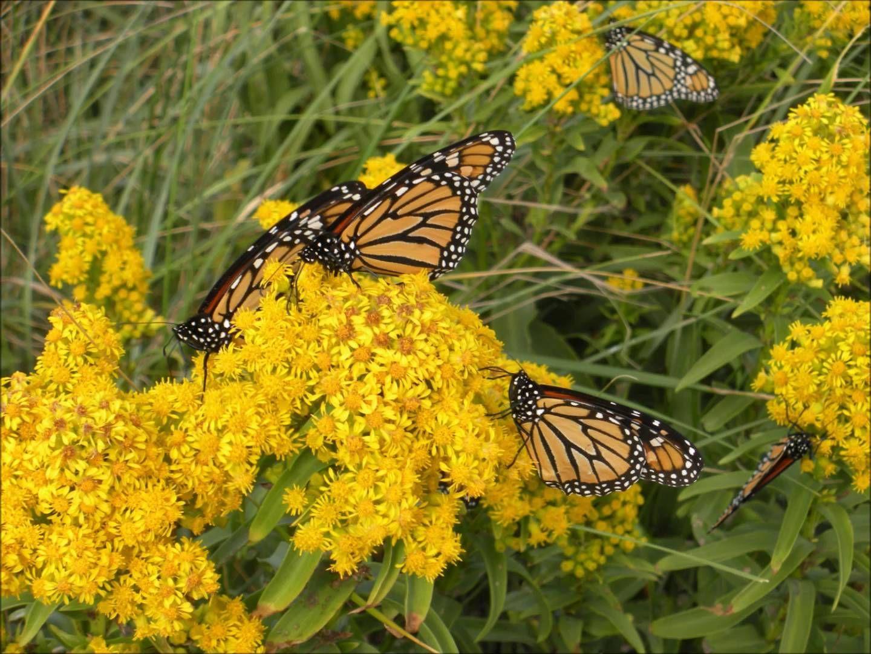 A Monarch Butterfly S Long Journey South Hd An