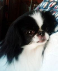 Sasha Wichita Ks Is An Adoptable Japanese Chin Dog In Wichita