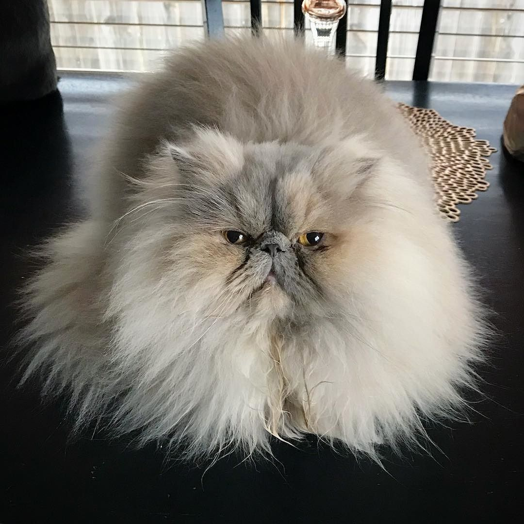 Feeling Fluffy And Fabulous Happy Hump Day From Libbyjoykitty Persiancat Cats Pretty Cats Cute Cats
