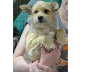 Adopt Artemis On Cairn Terrier Mix Terrier Mix Dogs Terrier Dogs