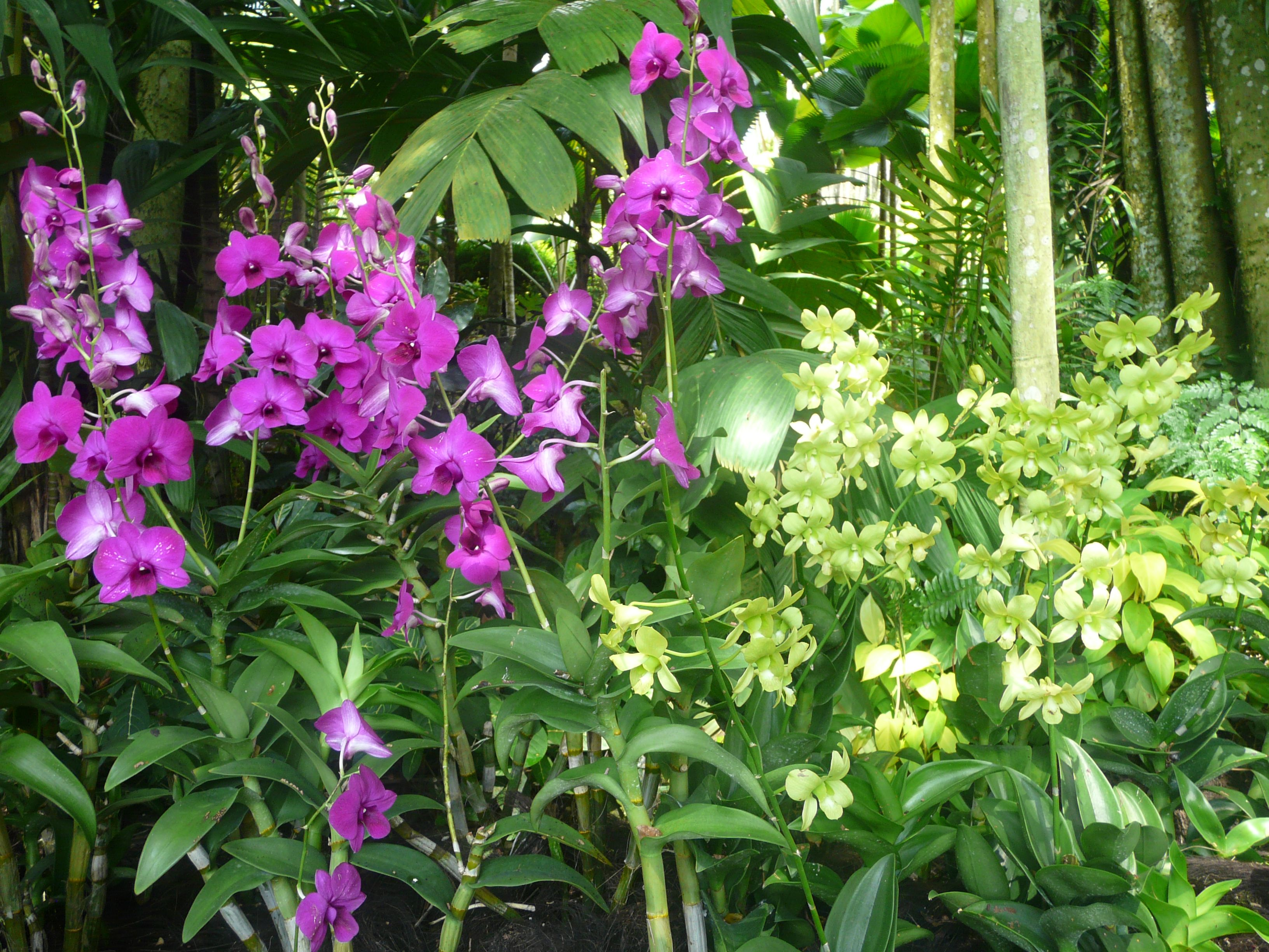 purple and pale green orchids at the national orchid garden