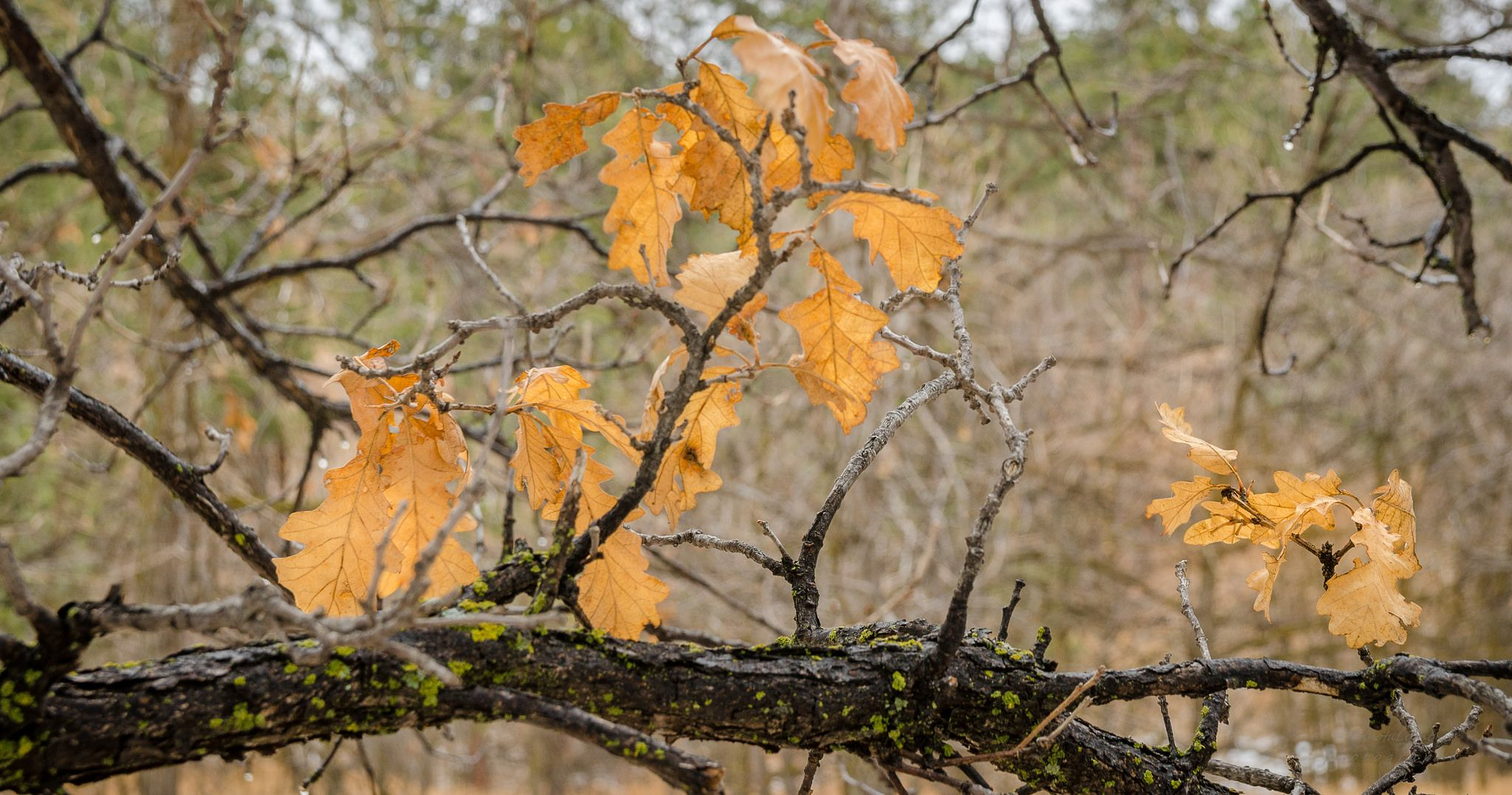 https://flic.kr/p/Sjdm7m | 20170312-A few oak leaves. | #SouthDakota #POTD #Day1898 #buroak