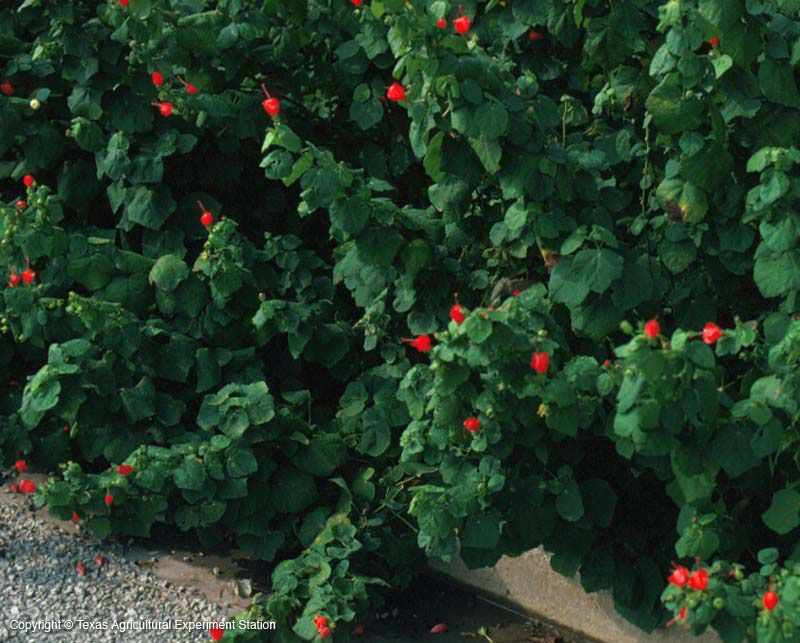 Turk S Cap From The Texas Native Plants Database Where