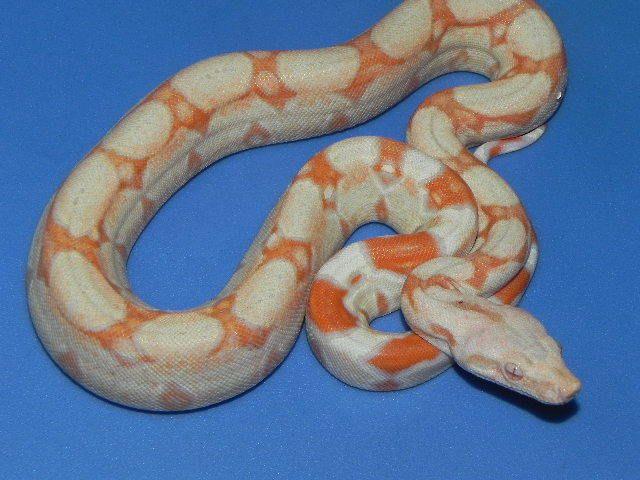 Coral Albino Boa Constrictor For Sale Boa C Imperator Boa Constrictor Animal Room Albino