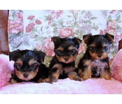 CHA Yorkie Puppies Available is a Yorkshire Terrier Puppy