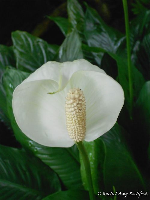 White Anthurium In Upper Carapichaima Trinidad Photographed By Rachel Amy Rochford Anthurium Flower Show Trinidad
