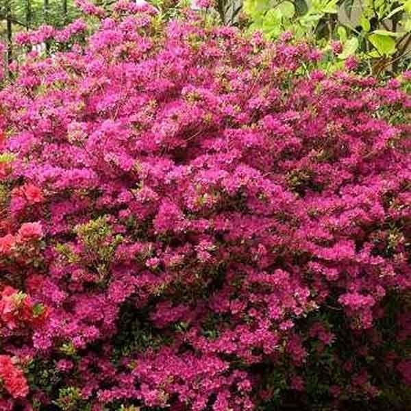l 39 azalea japonica amoena un arbuste persistant aux nombreuses petites fleurs pourpre lilac. Black Bedroom Furniture Sets. Home Design Ideas