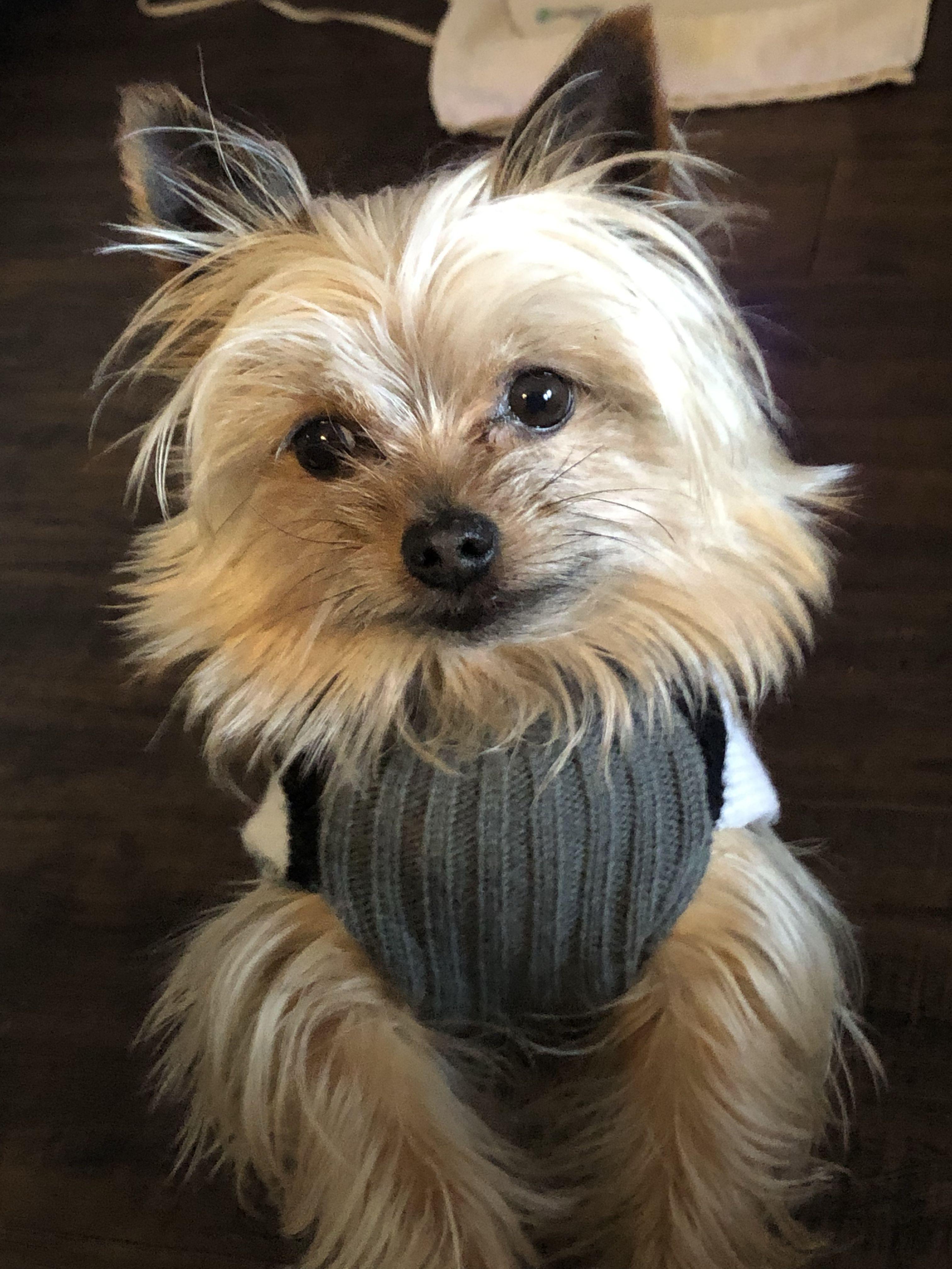 Oak Ridge Nj Yorkie Yorkshire Terrier Mix Meet Nadia Help A Dog For Adoption Yorkie Yorkshire Terrier Yorkie Yorkshire Terrier