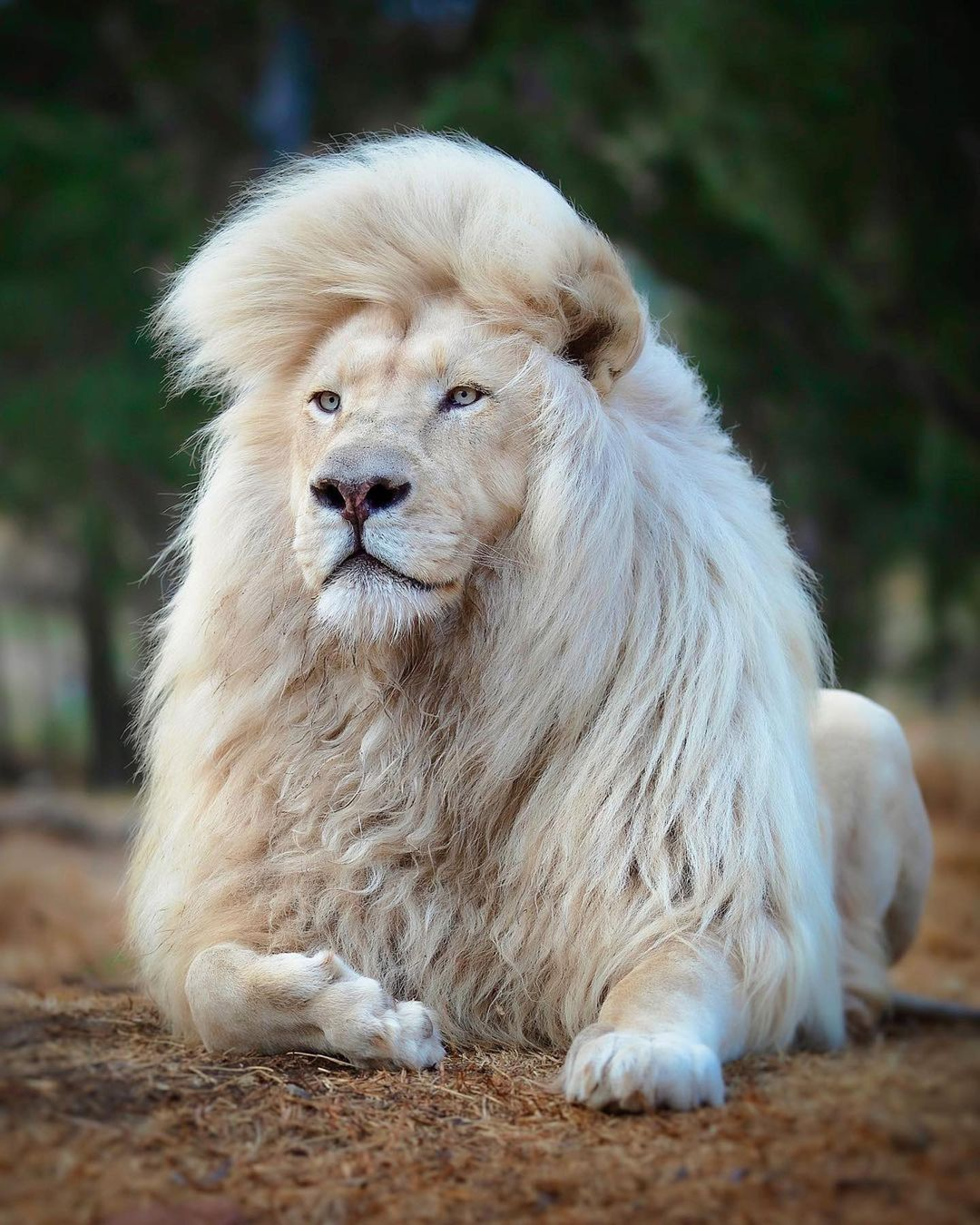 Nature Predators On Instagram King Sh T Moya The White Lion Looking Majestic Photo By Human Kind Phot Lions Photos Lion Images Lion Photography