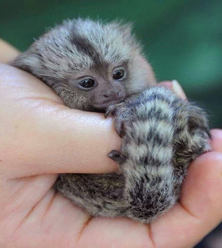 how to get a finger monkey