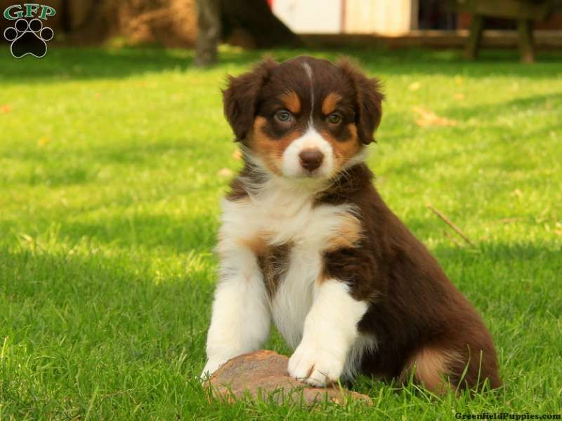 Australian Shepherd Puppies For Sale Greenfield Puppies