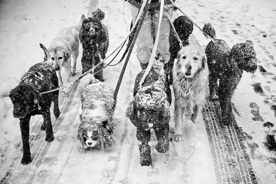 Dogs in Snow, Central Park Dogwalker, by David Beckerman