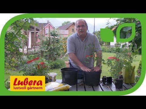 Tomaten im Topf pflanzen - YouTube #tomatenpflanzen