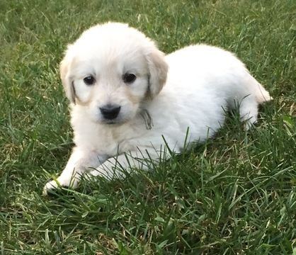 Golden Retriever Puppy For Sale In Leominster Ma Adn 46350 On