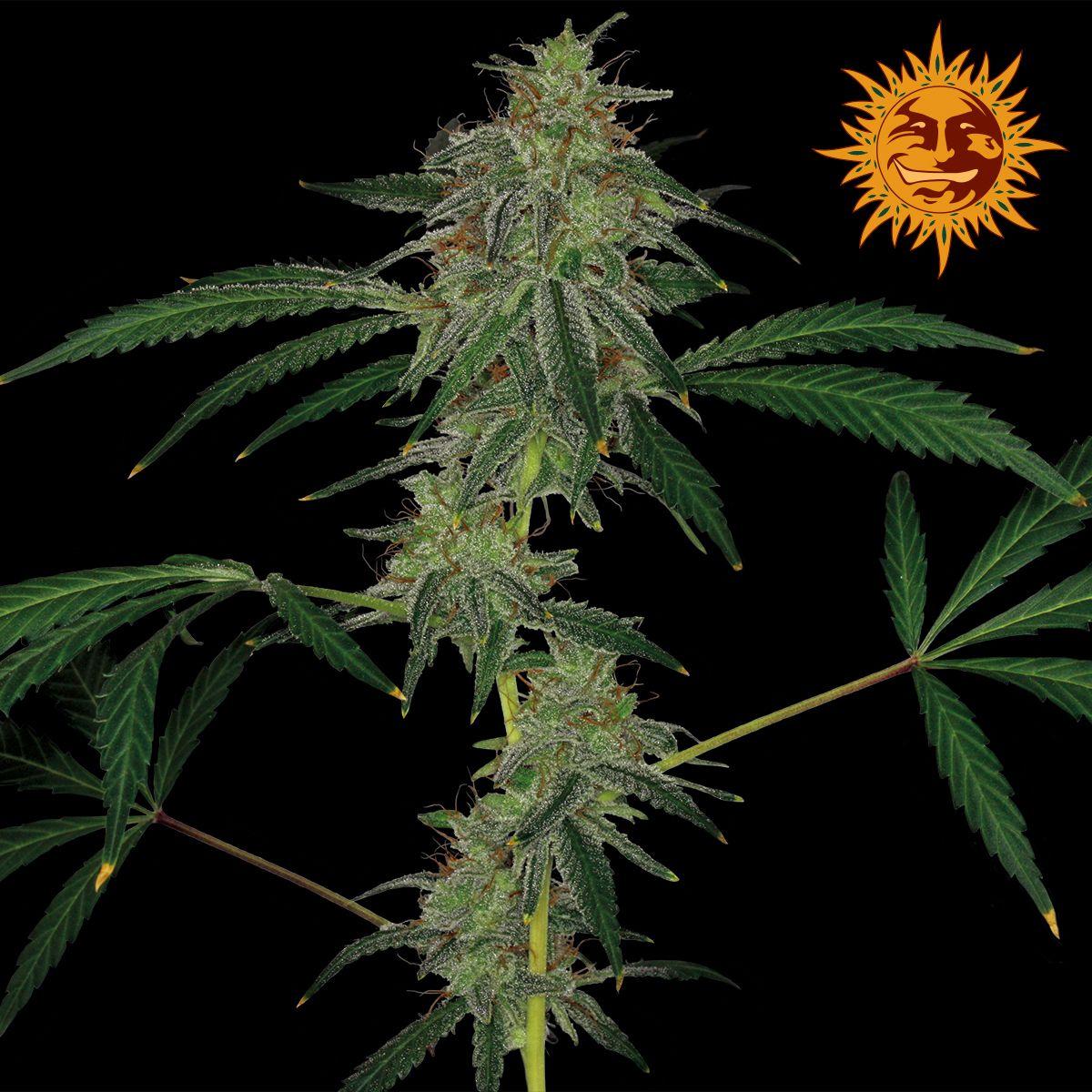 Barneys Farm - Blue Mammoth Auto Feminised Cannabis Seeds - Buy ...
