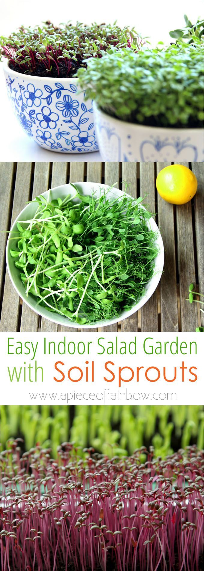 Grow an Indoor Salad Garden with Soil Sprouts is part of Winter garden Indoor - How to grow soil sprouts an easy method to grow nutritious sprouts and baby greens in less than 2 weeks  Great for small space and indoor winter gardening!