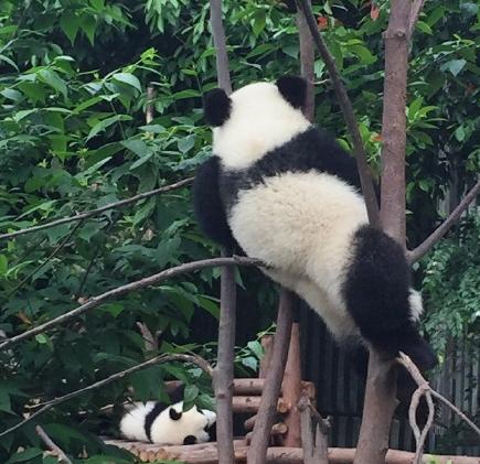 I Can Climb Trees Panda Bear Panda Cute Animals