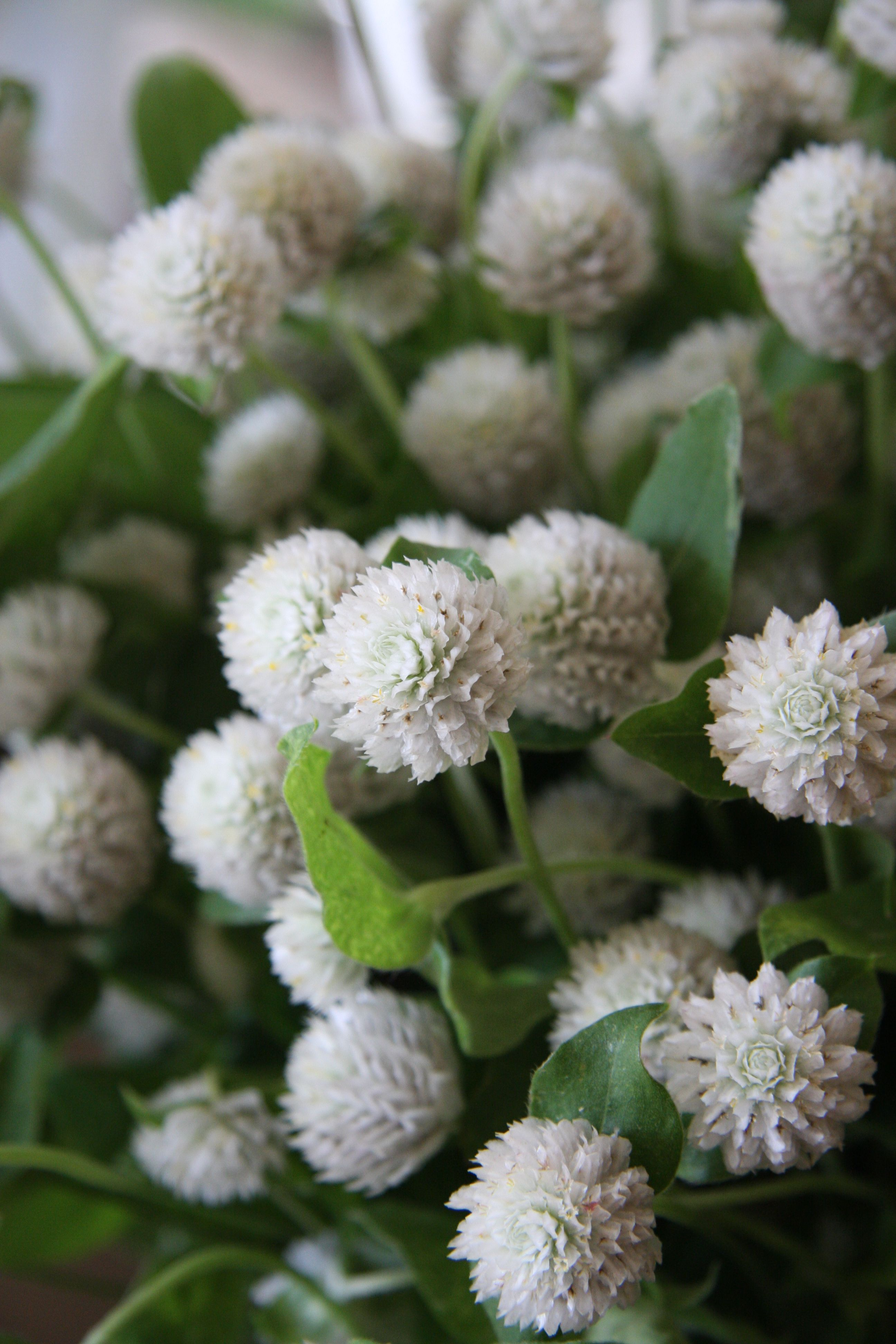 White Gomphrena globosa, commonly known as Globe Amaranth