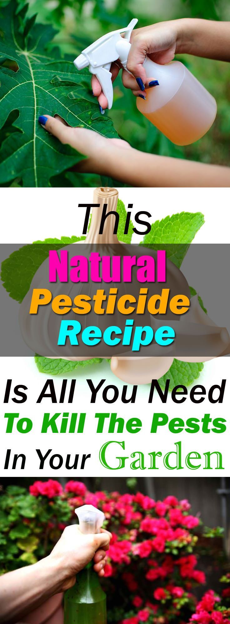 Amazing Natural Pesticide Recipe Is So Effective You Can Get Rid Of Pests In No Time This homemade pesticide recipe is CHEMICAL FREE, all natural and easy to prepare. 5 effective ingredients together and your plants will be free of pests.This homemade pesticide recipe is CHEMICAL FREE, all natural and easy to prepare. 5 effective ingredients together and...