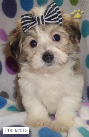 Glitter Maltipoo Puppy For Sale In Kane Pa Maltipoo Puppy For Sale Puppies For Sale Cavapoo Puppies Maltipoo Puppy