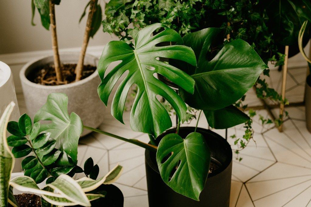 Quick Tips Caring For Your Monstera Deliciosa House Plant Care Plant Care Houseplant Propagating Plants