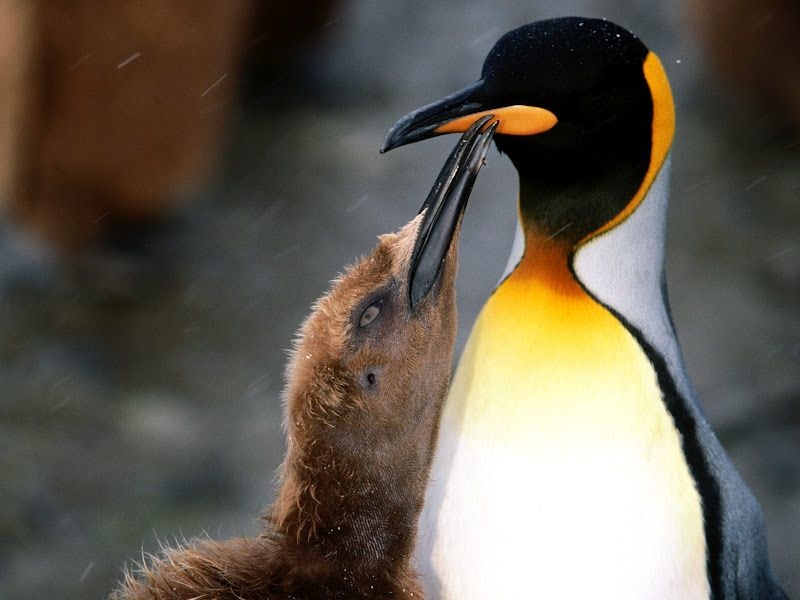 Pingviny V Fotografiyah