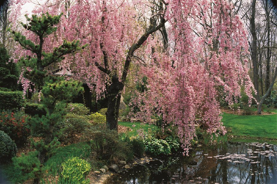 Flowering Cherry Trees Are Popular For Their Showy Spring Flowers Fruit For The Birds And Colorfu Tree Garden Design Flowering Cherry Tree Willow Trees Garden