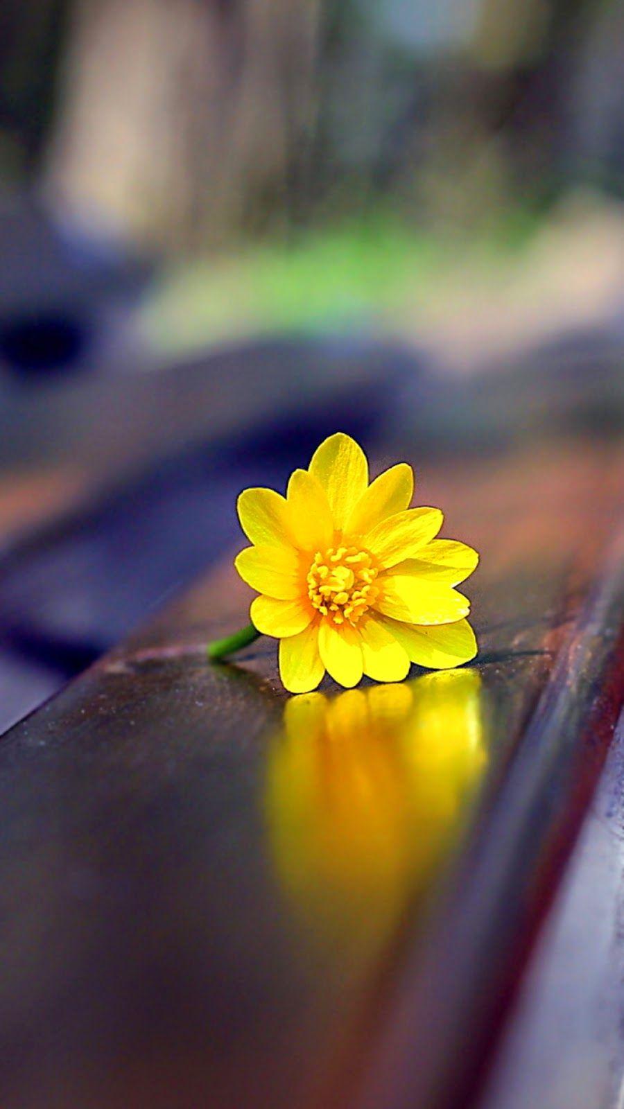 Papel De Parede Gratis Para Pc Yellow Flower On Bench Iphone Wallpaper Flores Fotografia Flores Bonitas Flores Amarelas