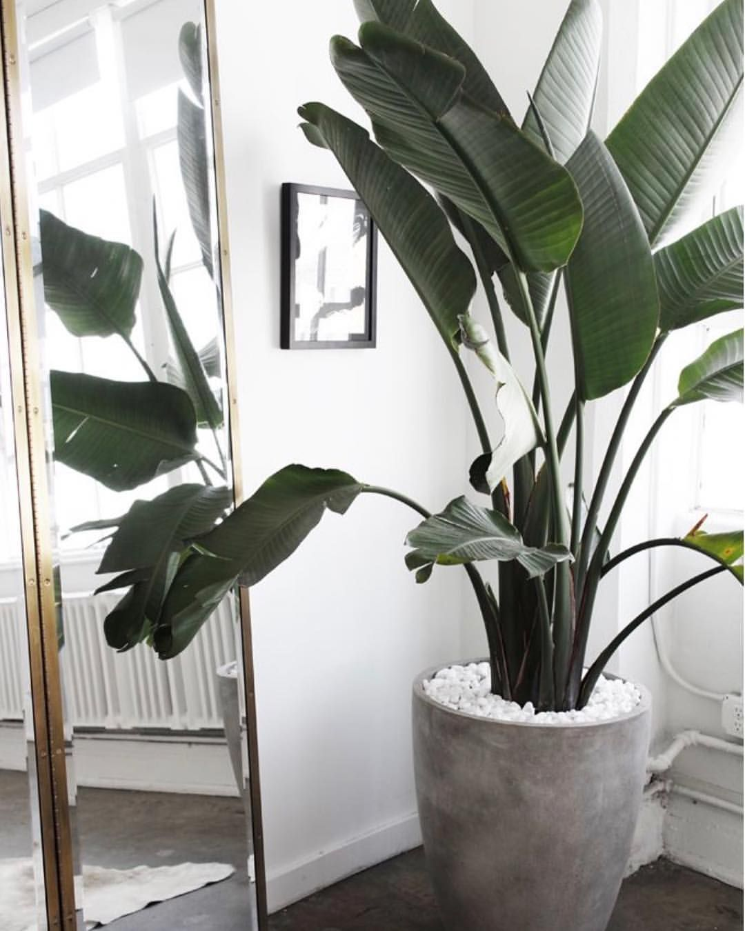 Big Plants For Living Room Pin By Alicia Knights On Indoor Plants Pinterest 집 집