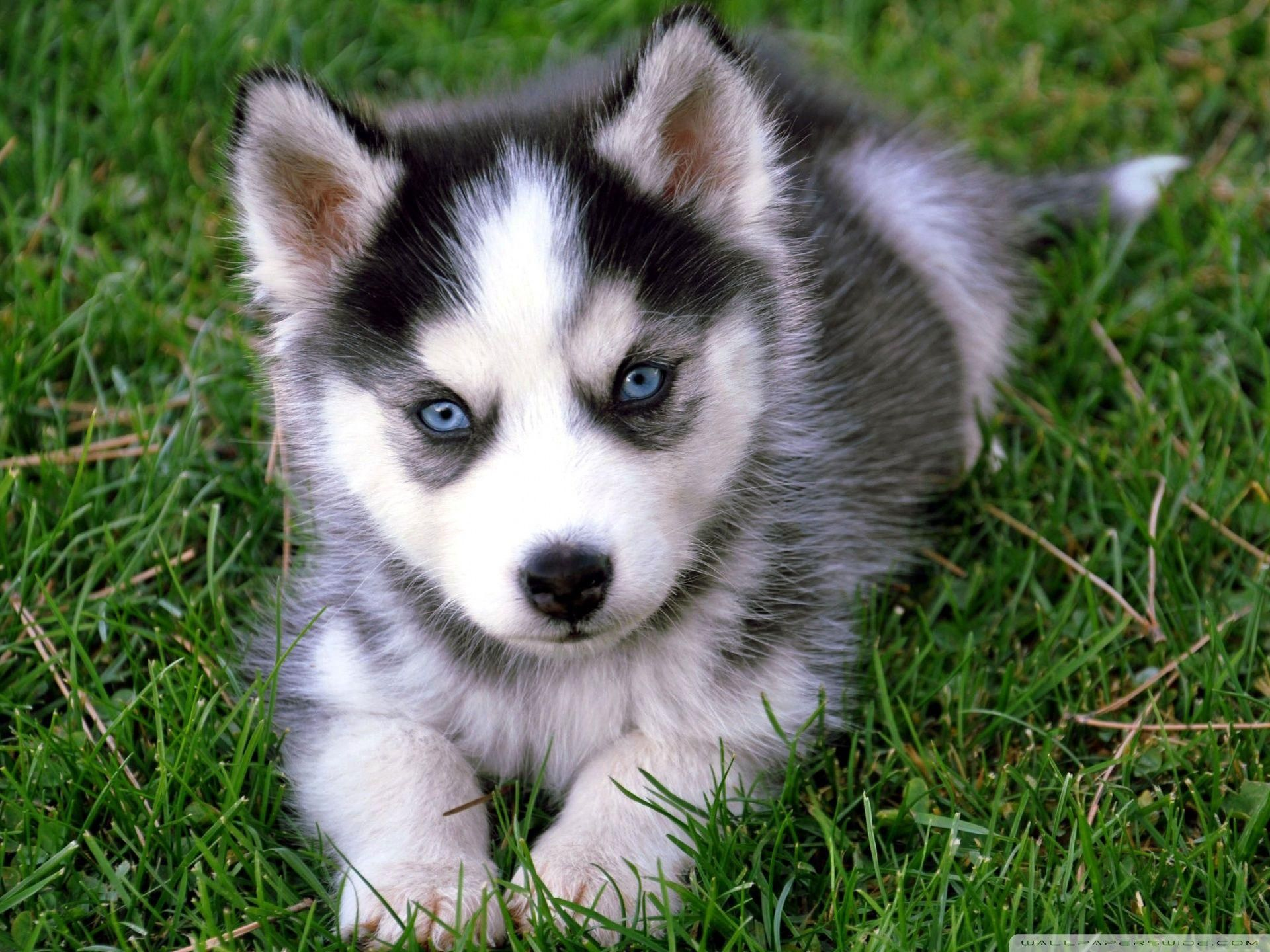 Cute Husky Puppy Wallpaper In 2020 Cute Husky Puppies Baby Dogs