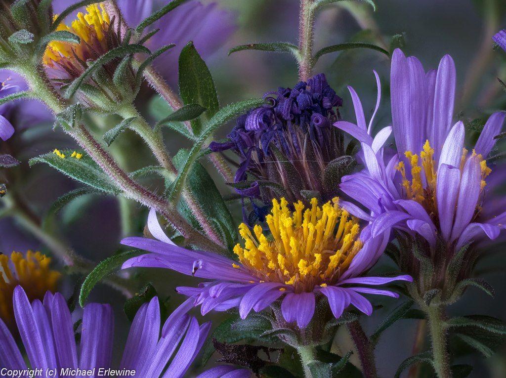 New England Aster S Meddicinal Uses From Herbalist Jim Mcdonald Www Herbcraft Org Herbalist Medicinal Plants Jim Mcdonald