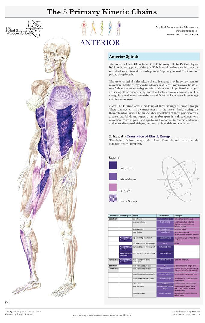 5 Primary Kinetic Chains #fisionomia #anatomia | Massage | Pinterest ...