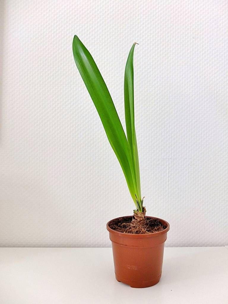 amaryllis pflege nur blaetter orchideen amaryllis garten und pflanzen. Black Bedroom Furniture Sets. Home Design Ideas