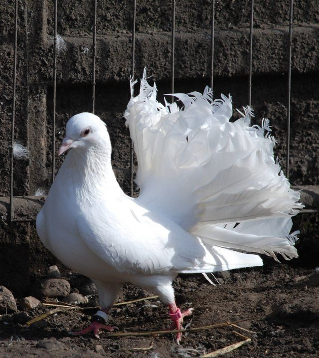 Doves For Sale >> Preloved White Fantail Doves For Sale In Walsall Westmidlands