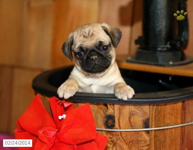 Pug Puppy For Sale Pug Puppies Pug Puppies Pug