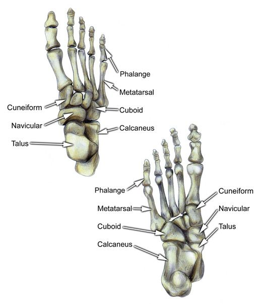 Bones of Foot Labeled | About feet | Pinterest