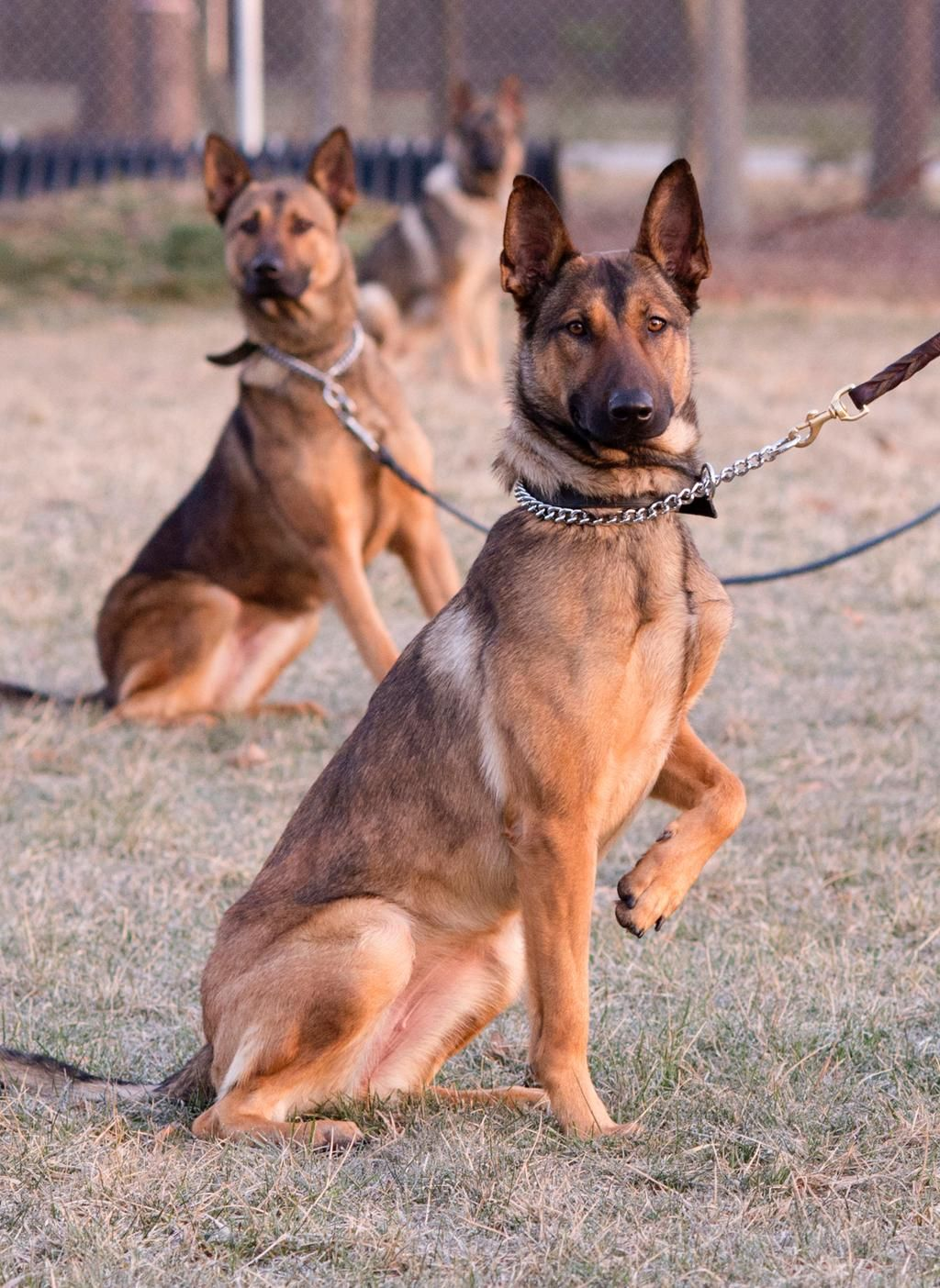 USSS began using Belgian Malinois for operational purposes in 1984 and they remain an integral part of the Agency.